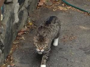 pemberton cat