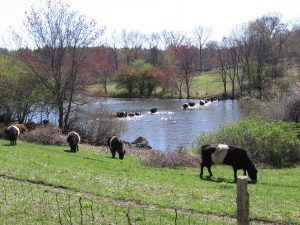 Celebrate Views of Belted Galloways, Mt. Wachusett, and Mt. Monadnock @ Mainstone Farm | Wayland | Massachusetts | United States