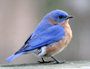 Zoom With Whom? All About Bluebirds! @ Zoom